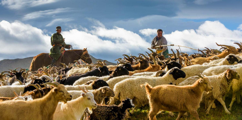 Mongolian sheeps